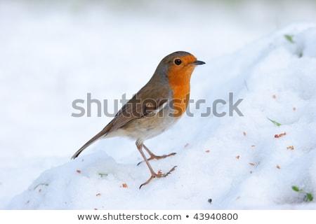 grama · neve · gelo · peito · pássaro · vermelho - foto stock © rekemp
