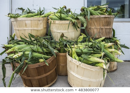 Stock photo: Freshly picked ear of maize, sweet corn cob