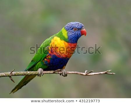 Rainbow Lorikeet (Trichoglossus moluccanus) Stock photo © dirkr