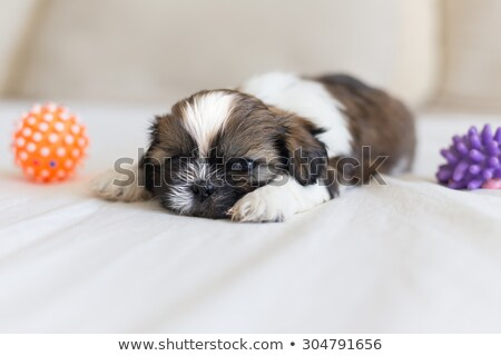 Stock photo: 2 shi tzu dogs are looking