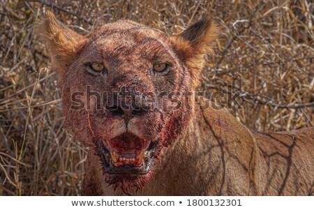 Yeme park Güney Afrika hayvanlar aslan fotoğrafçılık Stok fotoğraf © simoneeman