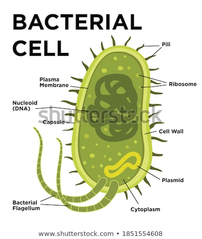 Cell anatomy Stock photo © Tefi