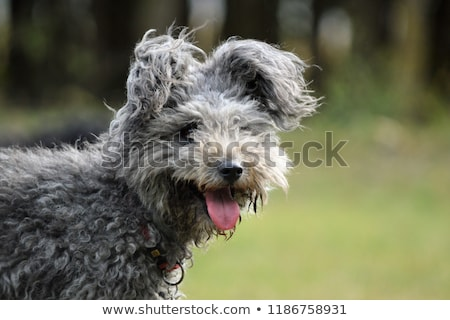Genç nadir koyun köpek Stok fotoğraf © simazoran