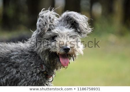 молодые редкий овец собака Сток-фото © simazoran