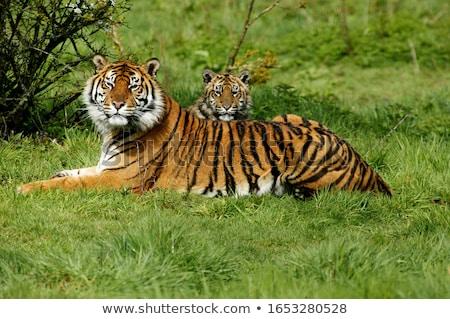 Tiger (Panthera tigris) Stock photo © dirkr