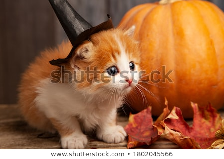 Gyömbér macska halloween fehér pók kalap Stock fotó © cynoclub