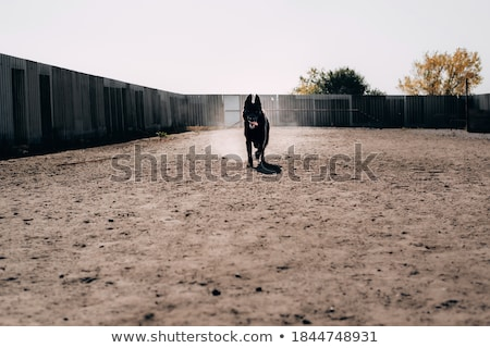portrait of a black dog running fast outdoors stock photo © lightpoet