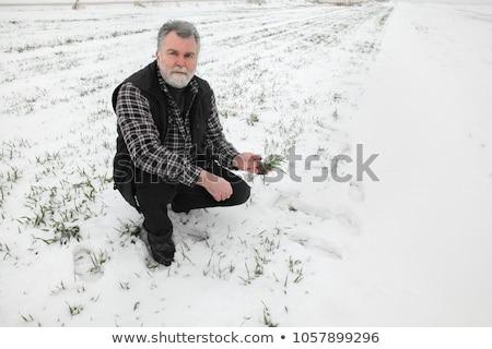 Farmer or agronomist examining quality of wheat in winter Stock photo © simazoran
