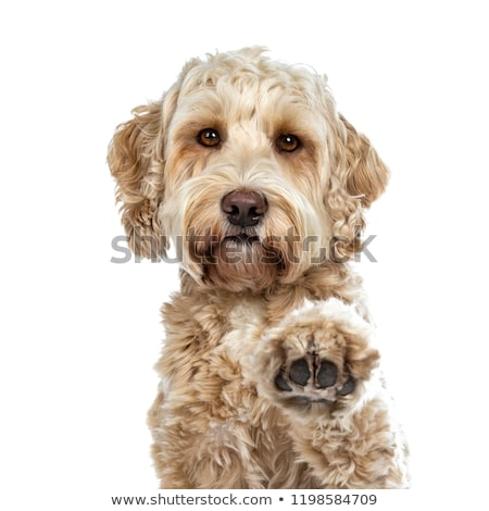 Head shot of pretty golden adult Labradoodle dog, isolated on white background.  Stock photo © CatchyImages