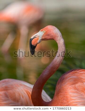 cabeça · vermelho · plumagem · branco · bico - foto stock © bobkeenan