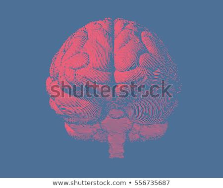 anatomical head organ human brain vintage vector stock photo © pikepicture