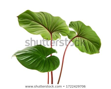 Houseplant Long Stems and Foliage. Botany Flora Stock photo © robuart