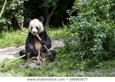 Gigante panda sessão alimentação bambu rocha Foto stock © tilo