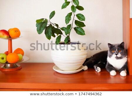 Macska polc cserepes növény gyümölcsök aranyos higgadt Stock fotó © dashapetrenko