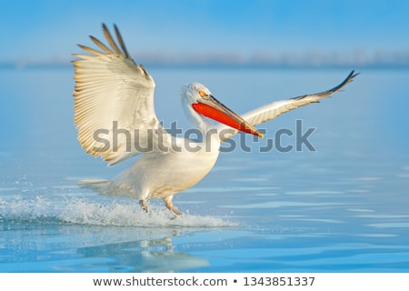 Bird pelican Stock photo © RuslanOmega