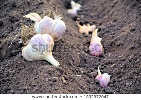 Soğan sarımsak sebze simgeler beyaz gıda Stok fotoğraf © dayzeren