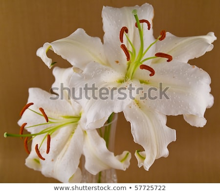 Stock photo: casablanca white lilies closeup showing flower details