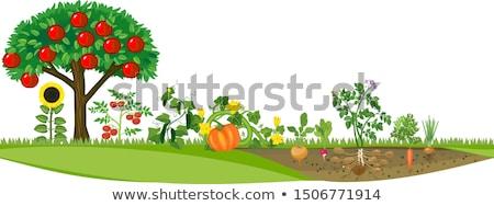 tomates · cozinha · jardim · maduro · outono · folha - foto stock © serge001