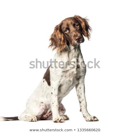 small munsterlander dog stock photo © capturelight