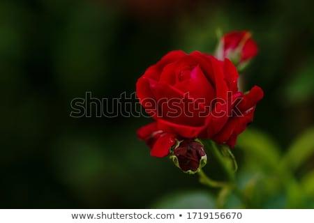 rosa · vermelha · broto · flor · jardim · flor - foto stock © emese73