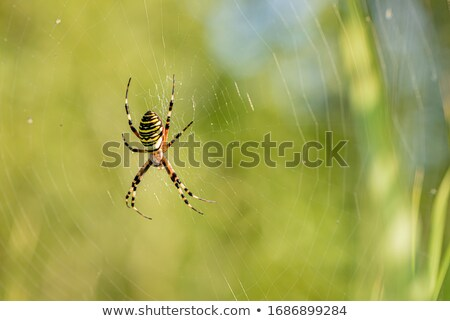 Black and yellow striped spider in a tree Stock photo © lunamarina