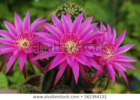 Geel bloei cactus geen beschrijving Stockfoto © emattil