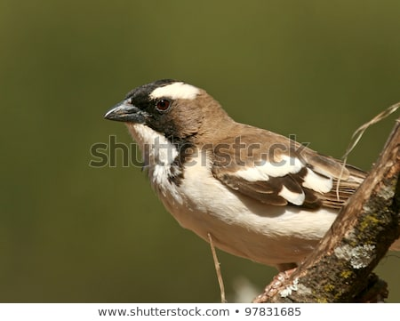 White-browed Sparrow-weaver Stock photo © dirkr