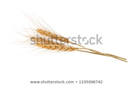 Altın arpa kulaklar alan geç Stok fotoğraf © ryhor