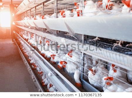 утренников какмна птицефабрике убивают курей удобный поиск вакансий
