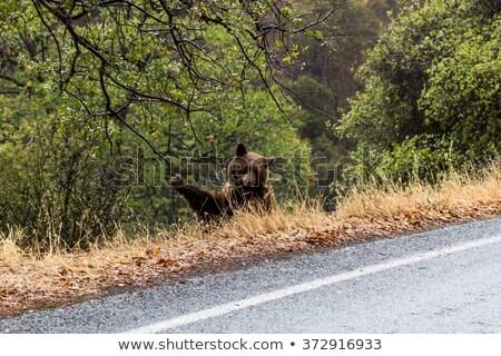 Sequoia tree street Stock photo © weltreisendertj