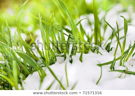 Icy and snowy green grass.  stock photo © EFischen