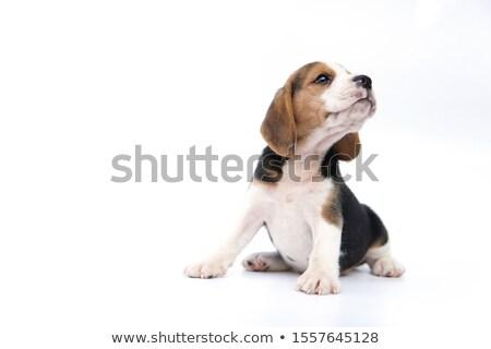 триколор Beagle щенков сидят Cute изолированный Сток-фото © remik44992