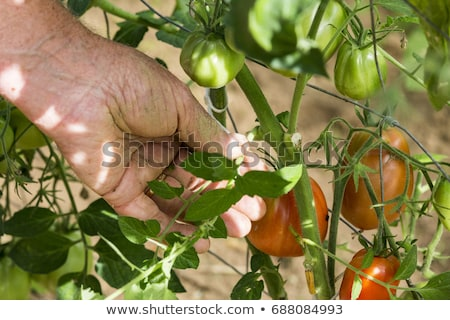 Man care about tomatos plants in greenhouse Stock photo © adamr