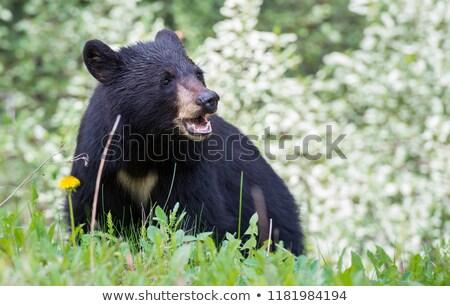 Wild Canada zwarte beer foto tonen Stockfoto © Dermot68