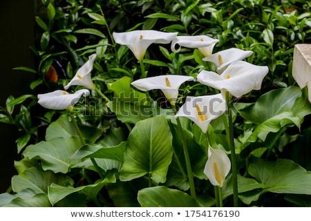 Zantedeschia aethiopica (Arum Lily) Stock photo © smartin69