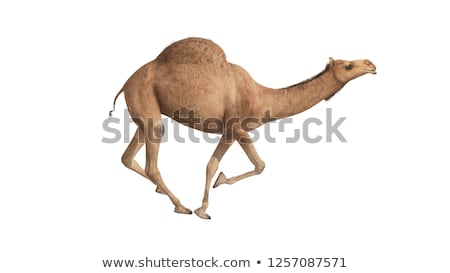 Foto stock: Camel Walking - 3d Render