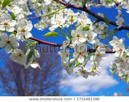 белые цветы небе Cherry Blossom фестиваля весны празднования Сток-фото © rmbarricarte