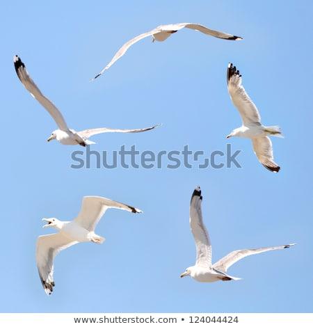gaivotas · praia · voador · mediterrânico · mar · pôr · do · sol - foto stock © razvanphotos