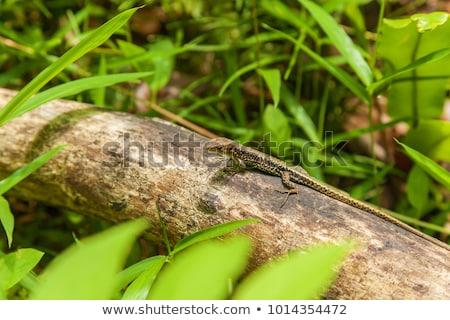 pequeno · lagarto · sessão · madeira · grama - foto stock © oleksandro