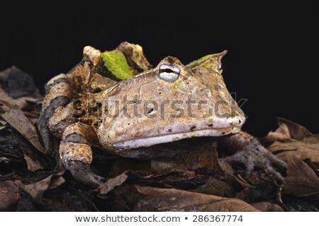 Surinam Horned Frog or Amazonian Horned Frog or Ceratophrys corn Stock photo © Morphart