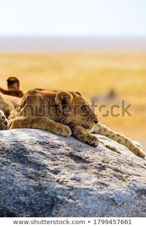 Oroszlán család park Afrika fű állat Stock fotó © meinzahn