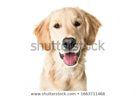 sad labrador retriever portrait in white studio Stock photo © vauvau