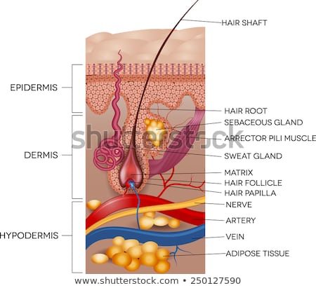 Labeled Skin and hair anatomy. Detailed medical illustration. Stock photo © Tefi