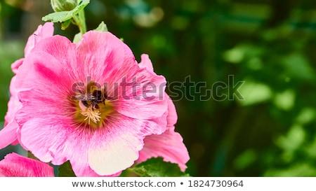 honingbij · oogst · stuifmeel · boom · bloem - stockfoto © feverpitch