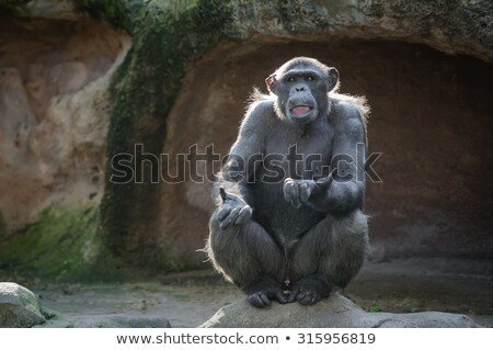 şempanze oturma kaya kahverengi Stok fotoğraf © asturianu