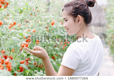 Hand feeling tomato plant in garden Stock photo © IS2