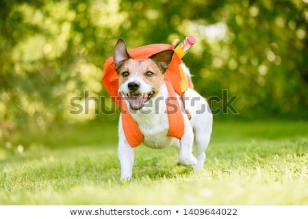 yellow dog with backpack goes to school stock photo © orensila