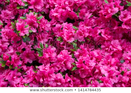 Rhododendron flowers. Stock photo © papa1266