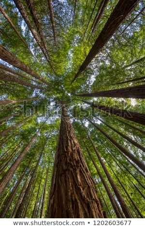 Sequoias in Cabezon de la Sal, Spain. View from below. Stock photo © asturianu