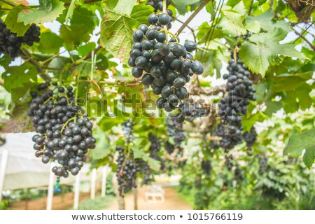 Close up in spring from grape plant with many fruits Stock photo © digoarpi